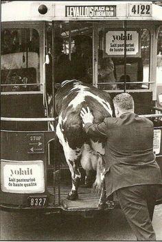 Inventa una pequeña historia. ¿Por qué intenta meter este hombre a la vaca en el tranvía? Fotografía: Robert Doisneau