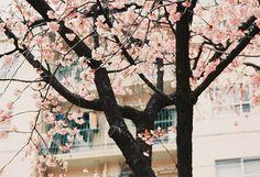 Bild via We Heart It https://weheartit.com/entry/167017421 #lovely #nature #pink #spring #trees
