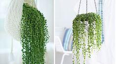 Je veux cultiver un « collier de perles » dans mon salon !