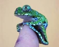 Peacock Tree Frog - Bing Images