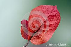 Red Bougainvillea Flower - Download From Over 25 Million High Quality Stock Photos, Images, Vectors. Sign up for FREE today. Image: 43219388