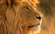 Lion Lion Lion Lion Lion
