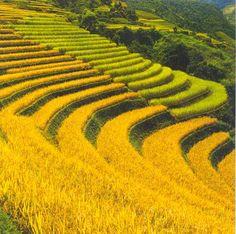 Ruộng bậc thang mùa lúa chín ở Hà Giang