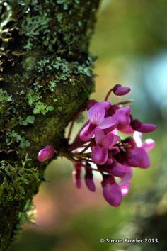 Cercis siliquastrum (or Judas tree) Bizdeki adıyla erguvan