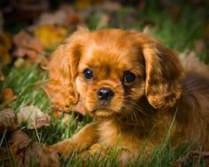 This one is my husbands' pick of all the puppies~~~~Cavalier King Charles Spaniel | Cavaliers by Crumley