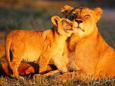 A lioness and her cub rousing from their day's rest! Lioness And Cubs, Cat Crying, Lion Pride, Lion Pictures, Lion Cub, City Scene, Cat Breeds, Big Cats, Beautiful Creatures