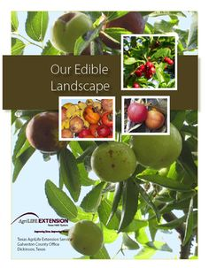 I just found this interesting on-line book about Texas edible landscaping published by the Texas AgriLife Extension Service. It talks about one family's experiences growing an edible landscape on the Gulf Coast. Click this link - Our Edible Landscape. Herb Pots, Garden Pots, Vegetable Garden, Garden Landscaping, Landscaping Ideas, Backyard Ideas, Garden Ideas, Kid Friendly Backyard, Edible Garden