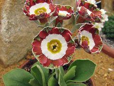 Scottish Rock Garden Club - >Wisley Alpine Log Primula auricula