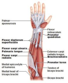 Superficial anterior muscles of the forearm. UNderstanding the anatomy of the carpal tunnel. -West Bay Chiropractic Clinic, Largo, FL www. Forearm Muscle Anatomy, Human Muscle Anatomy, Forearm Muscles, Human Anatomy And Physiology, Muscles Of The Arm, Skeletal Muscle Anatomy, Hand Therapy, Massage Therapy, Upper Limb Anatomy