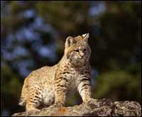 TPWD: Bobcats – Introducing Mammals to Young Naturalists