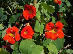 Liste de fleurs comestibles