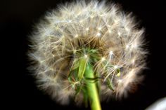 Seed sphere Dandelion, Seeds, Flowers, Plants, Photos, Image, Pictures, Dandelions, Plant