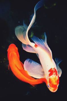 Nothing found for White Koi A Close Look Coi Fish, Koi Fish Pond, Fish Ponds, Betta Fish, Koi Art, Fish Art, Fish Wallpaper, Animal Wallpaper, Colorful Fish
