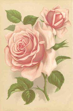 'La France Rose' botanical print, Vick's Monthly Magazine, (United States, 1883)