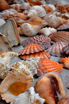 Sea Shells by sfPhotocraft, via FlickrpRODUCTOS DEL MAR Y TRABAJOS CON ELLOS.-