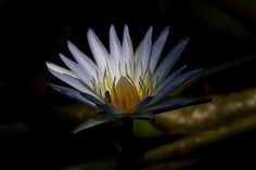 Water lilly Botanical Gardens, Water, Flowers, Plants, Gripe Water, Florals, Planters, Flower, Blossoms