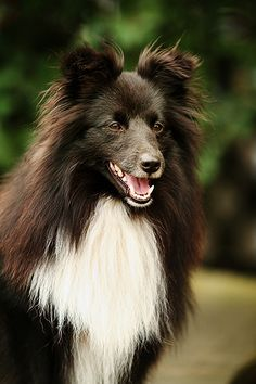 Sheltie by Old Sparky ~ HAVEN'T SEEN A SHELTIE IN PERSON THAT IS BLACK & WHITE, PRETTY ~