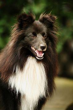 ❤️ Shetland Sheepdog