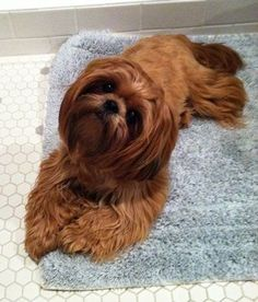 Red Shih Tzu...looks just like my CoCo, only mine linger hair, wish she would let me brush her