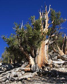 Um pinheiro bristlecone (Pinus longaeva), com partes vivas e mortas, nas Montanhas Brancas da Califórnia, EUA (Wikimedia Commons)