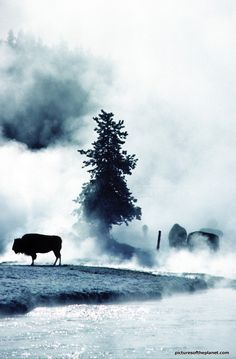 Silhouette of American bison (American buffalo), amongst the mist from geysers in Yellow Stone National Park - Check out more amazing American bison photos on Pictures of the Planet - http://www.picturesoftheplanet.com/animals/American-Bison-Pictures/