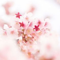 【hoku_x2】さんのInstagramをピンしています。 《赤いがく * * あたみ桜は散っても赤いがくが顔を出してとてもかわいい😌✨ * * #あたみ桜 #寒桜 #さくら #cherryblossoms #日本一早咲き #満開 #ザ花部 #team_jp_ #team_jp_flower #ig_japan #tokyocameraclub #東京カメラ部 #igs_world #bestjapanpics  #loves_nippon #loves_flowers #loves_blossoms #igersjp #icu_japan #wu_japan #igs_asia #myheartinshots #picture_to_keep #loves_garden #flowerstalking #igworldclub #instaflower #flowerstagram #はなまっぷ #ファインダー越しの私の世界》