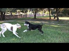 Funny Senior Great Dane Siblings Wrestle like Puppies - YouTube