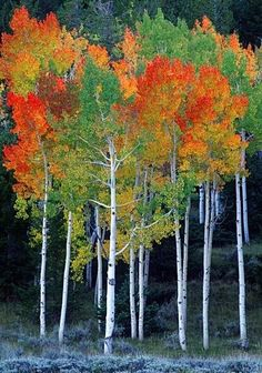 Colors of Autumn Leaves ~~Rainbow aspens, Autumn, Utah by Willie Holdman~~ Bonsai, Foto Nature, Aspen Trees, Birch Trees, Autumn Scenes, Nature Tree, Tree Forest, Tree Leaves, Tree Art