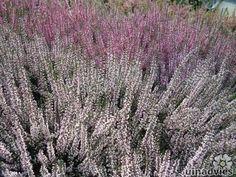 Calluna vulgaris - Dopheide / zomerheide / struikheide / bezemheide in de Digituin.
