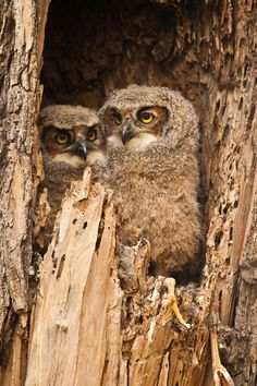 Baby Great Horned Owls in a tree nest