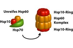 The molecular chaperones – the heat shock proteins Hsp10 and Hsp70 – form a complex that is important for assembling Hsp60 molecules into a molecular barrel.