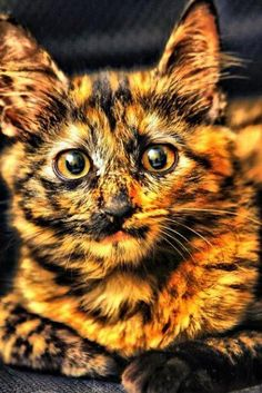"She's beautiful... =^..^=....we know she is a ""SHE"" because Torties are always females and she IS beautiful!"