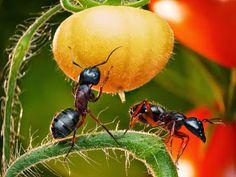 Getting rid of ants in your vegetable garden