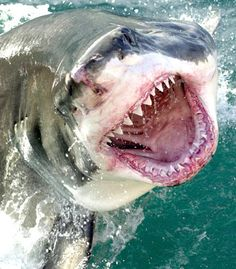 Huge Marlin destroyed by Great White Shark - Dead Meat! The Shark takes one bite and that's all it too. Orcas, Scary Animals, Cute Animals, Shark Photos, Shark Bait, Delphine, Great White Shark, Ocean Creatures, Shark Week