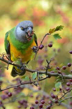 The Senegal Parrot (Poicephalus senegalus) is a Poicephalus parrot which is a resident breeder across a wide range of west Africa.[1][2] It makes migrations within west Africa.