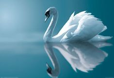 A swan is another great animal that represents Dream Angels -- it even kind of looks like an angel! White, winged, graceful, and serene.