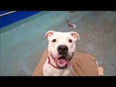 BIGGIE – 11020 - to be MURDERED today, 11-07-2017. Hello, my name is Biggie. My animal id is #11020. I am a male white dog at the Brooklyn Animal Care Center. The shelter thinks I am about 2 years 1 weeks old.  I came into the shelter as a stray on 28-Oct-2017.  Biggie is at risk due to being diagnosed with Canine Upper Respiratory Disease Complex and will likely require home rest and a series of antibiotics for up to 14 days.