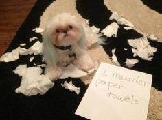 cute shih tzu paper funny mess