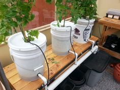 A Dutch Bucket hydroponics experiment.