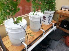 A Dutch Bucket hydroponics experiment.