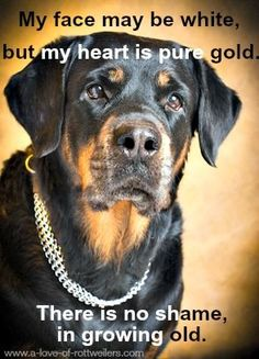 Puppies are adorable, but older dogs have a beauty and dignity all their own. My senior Rottweiler is 14 years old, and still young at heart!