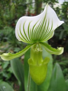 Green-Striped Paphiopedilum Orchid