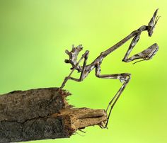 An Empusa Mantis larva looks as if it's made from twigs, as it perches on one  Picture: Jimmy Hoffman