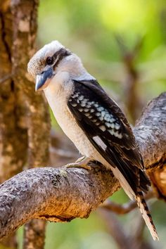 Kookaburras are native to Australia and New Guinea. The kookaburra's loud call sounds like echoing human laughter. Check the video to hear the sound.