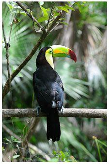 Belize is home to over 500 species of birds #belize #wildlife #birds