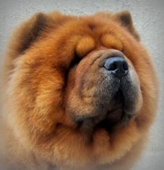 chow chow this is the exact image of Tai Chi's Father omg. i can't believe it.