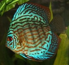 Red turquoise Discus.    Two of my juvenile discus are growing up to be very similar to the colors shown in this image.