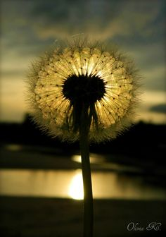 I just adore dandelions, probably why I love taking photos of them so much