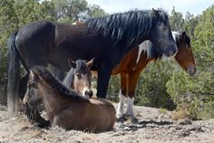 The New Mexico Court of Appeals has ruled that a herd of horses living in the Placitas area cannot be considered livestock if it is made up of wild horses. (Dean Hanson/Albuquerque Journal)