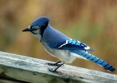 blue jay bird pictures | Female Blue Jays Birds Download Page Pet Photos Gallery Pet